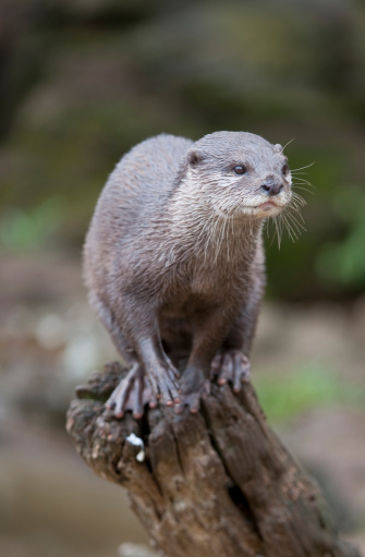 Log「Oriental Small-clawed Otter (Aonyx cinerea) balanced on log, United Kingdom」:スマホ壁紙(5)