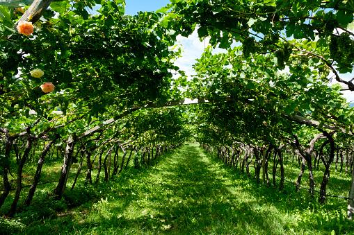 Trentino-Alto Adige「Italy, South Tyrol, Eppan, vineyard」:スマホ壁紙(10)