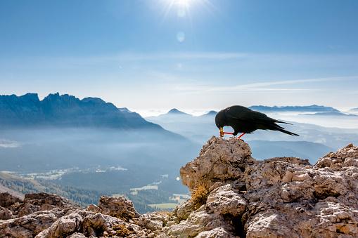Pennine Alps「Italy, South Tyrol, Rosengarten, Schwarzhorn, Weisshorn and Alpine chough」:スマホ壁紙(8)