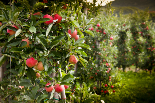 Apple Tree「Italy, South Tyrol, apple trees near Caldaro」:スマホ壁紙(19)