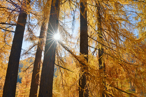 European Larch「Italy, South Tyrol, European Larch, Larix decidua, forest against the sun」:スマホ壁紙(6)