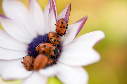Beetle「Group of Ladybugs Crawling on Flower」:スマホ壁紙(8)