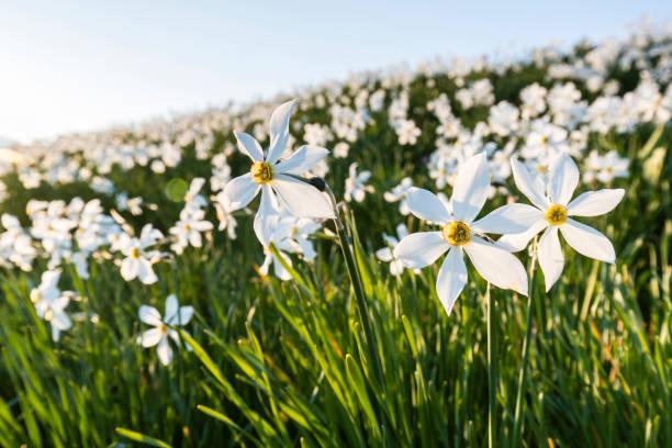 Field of wild narcissus (Narcissus poeticus) at sunrise, Saint-Legier-La Chiesaz, Vaud, Switzerland:スマホ壁紙(壁紙.com)