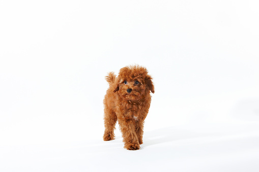 Walking「Young Toy Poodle」:スマホ壁紙(15)