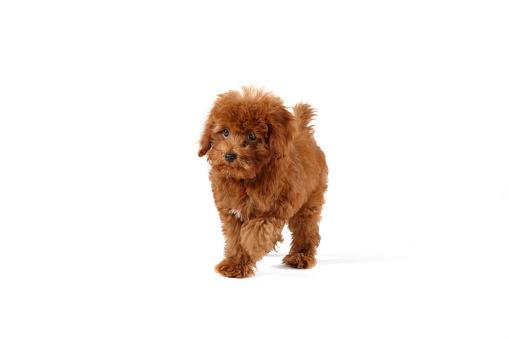 Walking「Young Toy Poodle」:スマホ壁紙(14)