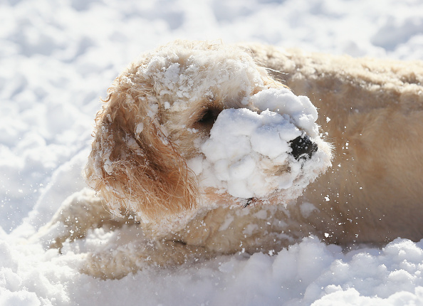 2016 Winter Storm Jonas「Dogs Enjoying Winter Storm Jonas」:写真・画像(19)[壁紙.com]