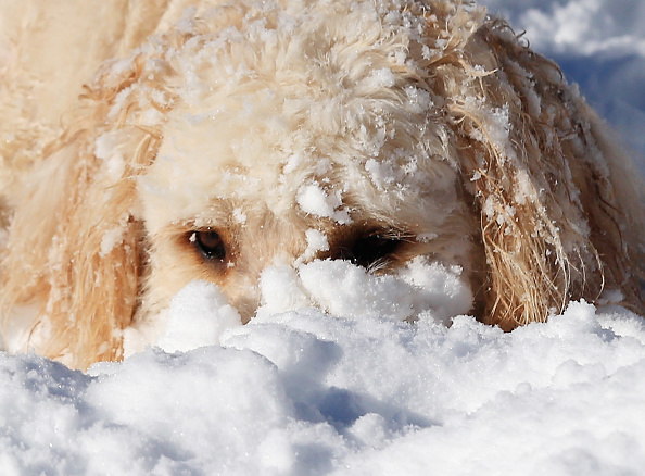 2016 Winter Storm Jonas「Dogs Enjoying Winter Storm Jonas」:写真・画像(6)[壁紙.com]