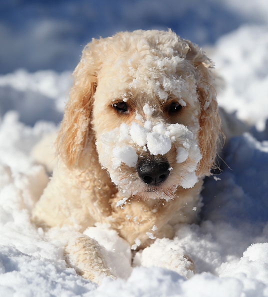 2016 Winter Storm Jonas「Dogs Enjoying Winter Storm Jonas」:写真・画像(5)[壁紙.com]