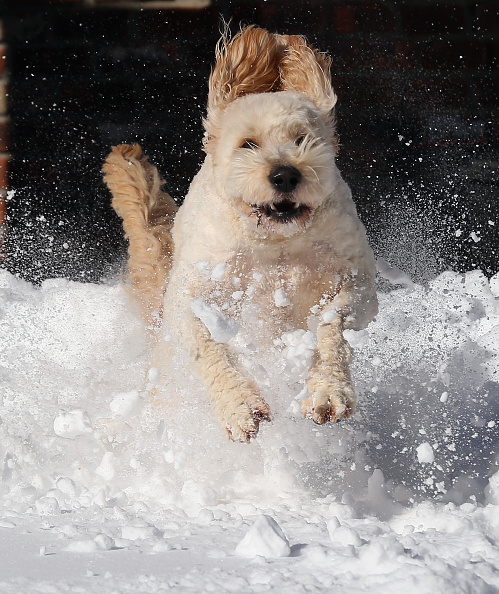 2016 Winter Storm Jonas「Dogs Enjoying Winter Storm Jonas」:写真・画像(7)[壁紙.com]