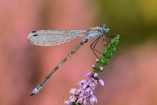 Dragonfly「Emerald Damselfly on blossom」:スマホ壁紙(10)
