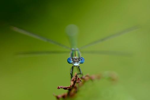 とんぼ「Emerald Damselfly, Lestes sponsa, in front of green background」:スマホ壁紙(19)