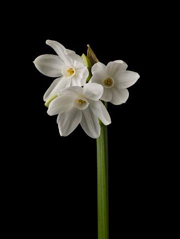 水仙「Close up study of Daffodil flowers」:スマホ壁紙(13)
