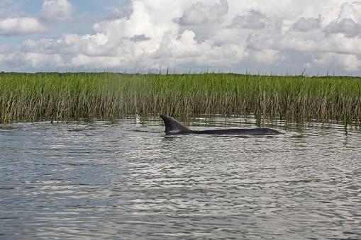 Charleston - South Carolina「Bottle nose dolphin」:スマホ壁紙(10)