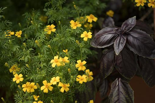 花「Lemon Marigold. Tagetes tenuifolia」:スマホ壁紙(3)