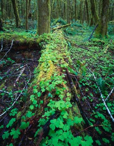 オリンピック雨林「Wood-Sorrel growing on rotting log in rainforest」:スマホ壁紙(6)