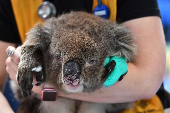 Koala「Labour Leader Anthony Albanese Visits Adelaide Koala Rescue」:写真・画像(4)[壁紙.com]