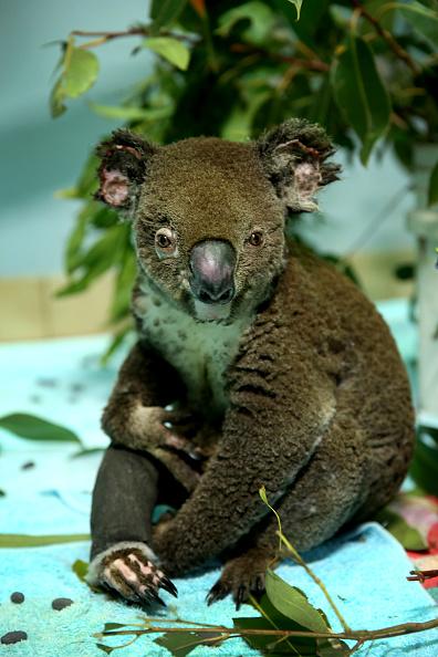 Nathan Edwards「Koala Hospital Works To Save Injured Animals Following Bushfires Across Eastern Australia」:写真・画像(19)[壁紙.com]