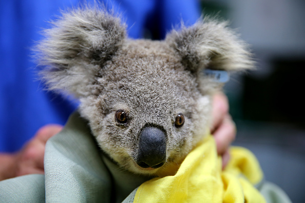 Koala「Koala Hospital Works To Save Injured Animals Following Bushfires Across Eastern Australia」:写真・画像(18)[壁紙.com]