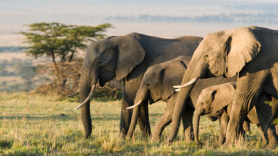 Elephant「Group of African elephants in the wild」:スマホ壁紙(0)