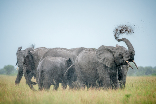 Queen Elizabeth National Park「Group of African elephants in Queen Elizabeth National Park」:スマホ壁紙(12)