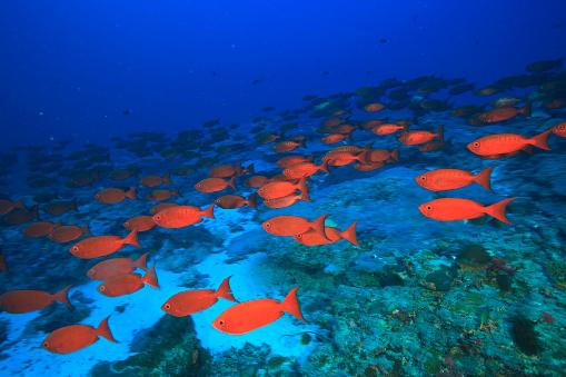 Ecosystem「Crescent Tail Bigeye (Priacanthus Hamrur), Northern Huvadhu Atoll, Southern Maldives, Indian Ocean」:スマホ壁紙(12)