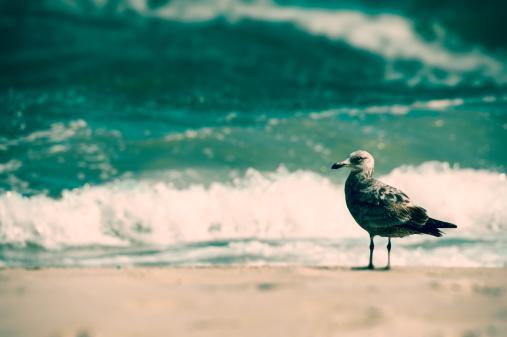 Herring Gull「Eastern herring gull standing by surf」:スマホ壁紙(18)