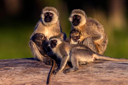Fallen Tree「Vervet monkeys grooming in Masai Mara」:スマホ壁紙(0)