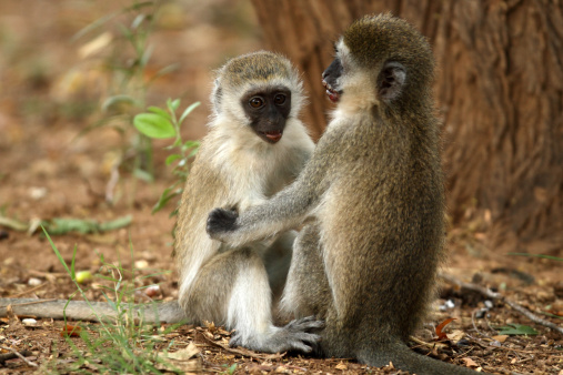 Lake Bogoria National Park「Vervet Monkeys」:スマホ壁紙(12)