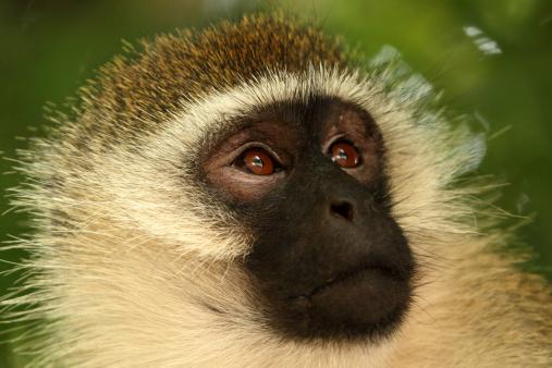 Lake Bogoria National Park「Vervet Monkey」:スマホ壁紙(13)