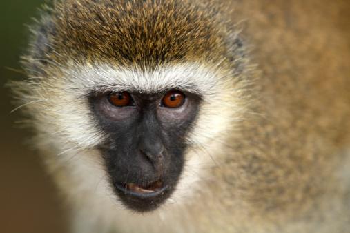 Lake Bogoria National Park「Vervet Monkey」:スマホ壁紙(10)