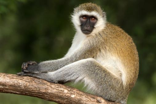 Lake Bogoria National Park「Vervet Monkey」:スマホ壁紙(11)