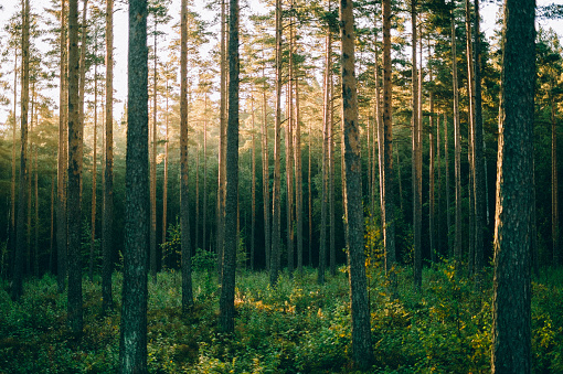 Branch - Plant Part「Pinewood forest in sunrise, Sognsvann, Oslo」:スマホ壁紙(7)