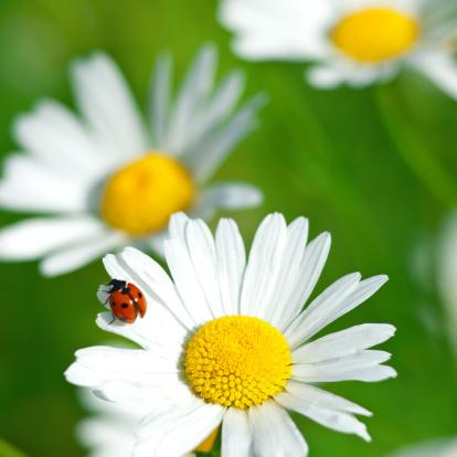 Ladybug「Shasta daisy (Leucanthemum x superbum) with Ladybug - V」:スマホ壁紙(18)