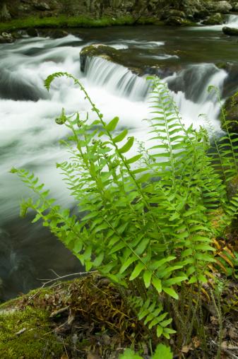 Frond「Christmas fern (Polystichum acrostichoides) beside river, (wide angle)」:スマホ壁紙(8)