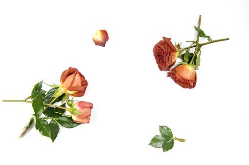 七夕「The roses」:スマホ壁紙(18)