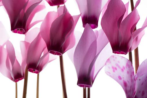 豊富「backlit violet petals」:スマホ壁紙(0)