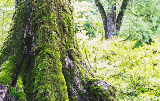 Japan「緑豊かな緑の森のコケに覆われた木の幹」:スマホ壁紙(12)