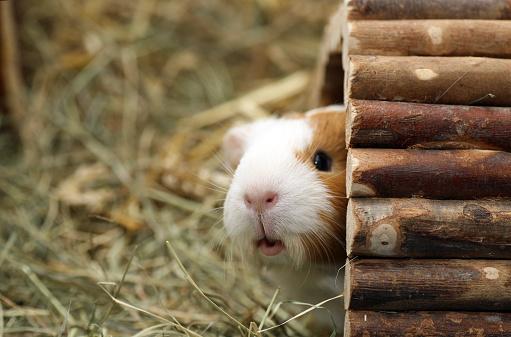 Sheltering「Guinea pig peeking out of his hut」:スマホ壁紙(14)