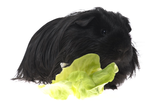 Shy「guinea pig isolated on the white background」:スマホ壁紙(2)