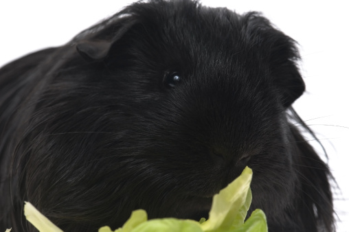 Shy「guinea pig isolated on the white background」:スマホ壁紙(18)