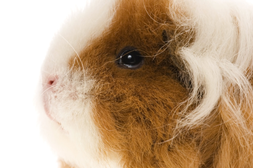 Shy「guinea pig isolated on the white background」:スマホ壁紙(11)