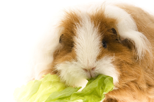 Shy「guinea pig isolated on the white background」:スマホ壁紙(9)