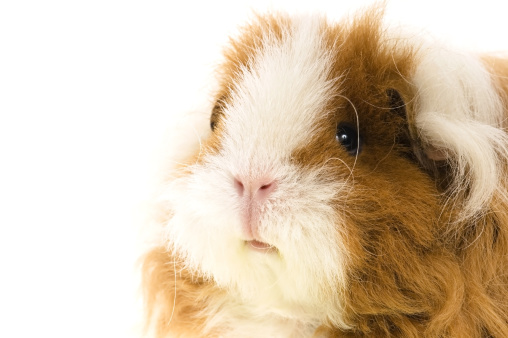 Shy「guinea pig isolated on the white background」:スマホ壁紙(4)