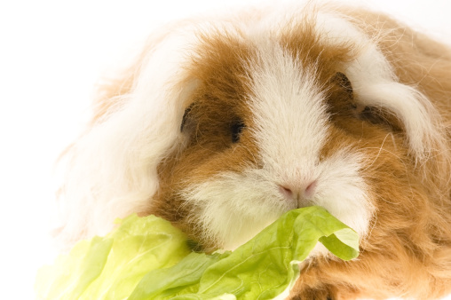 Shy「guinea pig isolated on the white background」:スマホ壁紙(12)