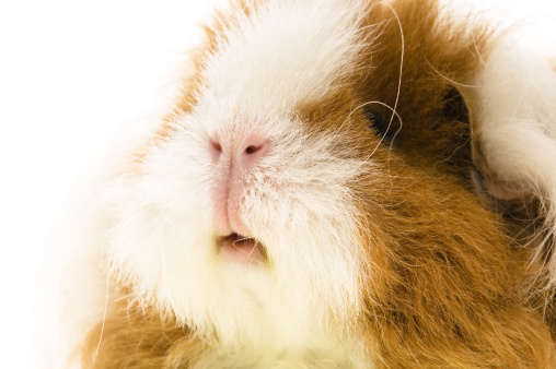 Shy「guinea pig isolated on the white background」:スマホ壁紙(10)