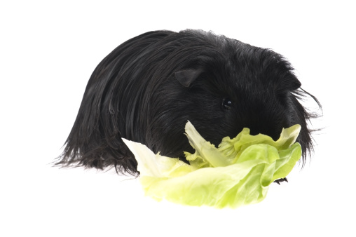 Shy「guinea pig isolated on the white background」:スマホ壁紙(0)