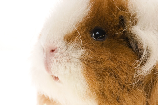 Shy「guinea pig isolated on the white background」:スマホ壁紙(6)