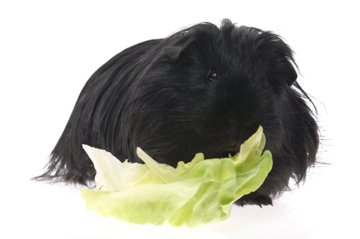 Shy「guinea pig isolated on the white background」:スマホ壁紙(13)