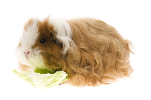 Shy「guinea pig isolated on the white background」:スマホ壁紙(17)