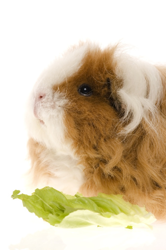 Shy「guinea pig isolated on the white background」:スマホ壁紙(15)
